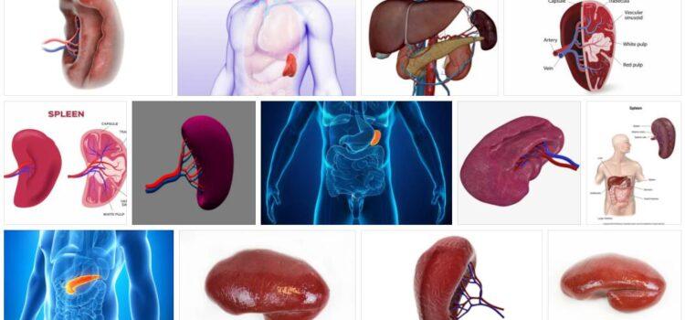Meaning of Spleen